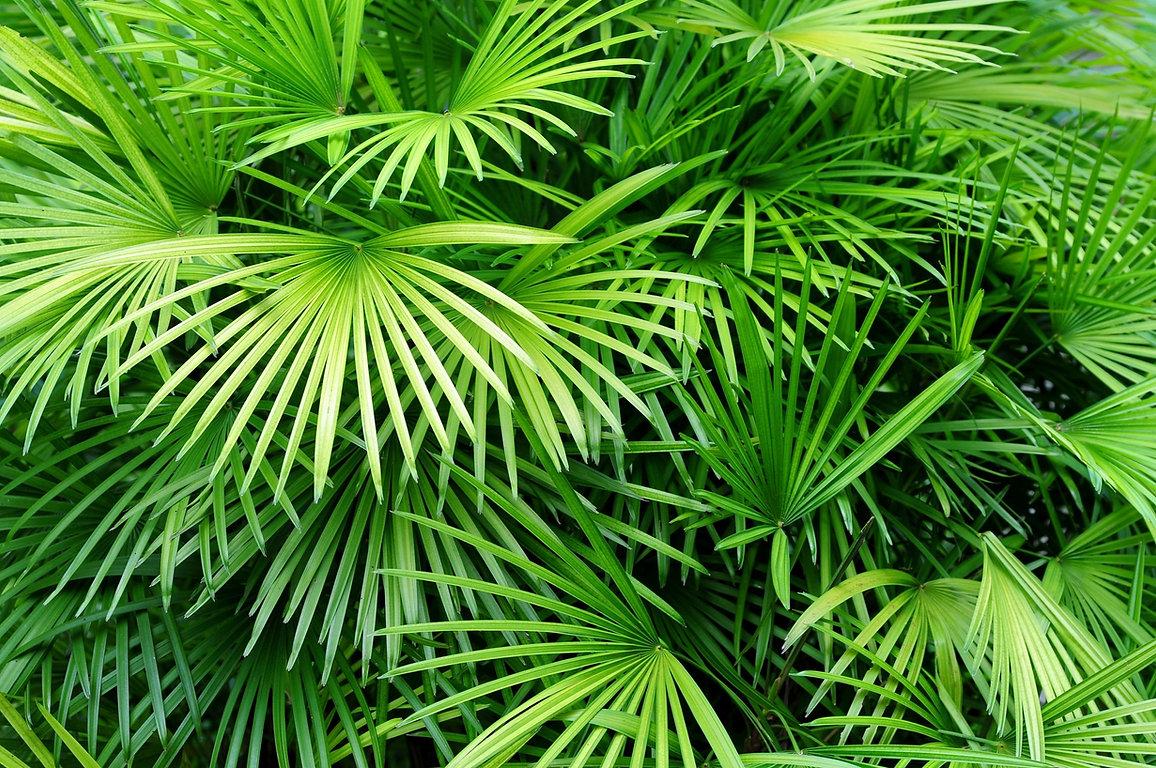 Luscious hojas de palma