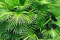 Luscious foglie di palma