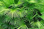 Luscious Palmiye Yapraklar