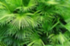 Folhas de palmeira Luscious