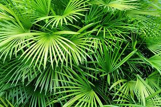 Feuilles pulpeuses Palm