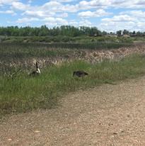 geese at Running Deer