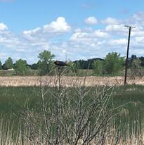 red wing blackbird at Running Deer