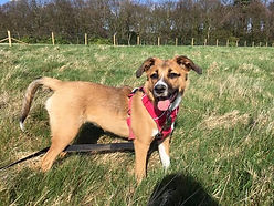 Thanks to Tracie she has made our family complete with the lovely Holly! Too think what might of happened to her if Tracie didn't rescue her is unbearable she is doing a amazing job and we are over the moon with our rescue pup who's so loving and has fitted in so well thank you Tracie ❤️