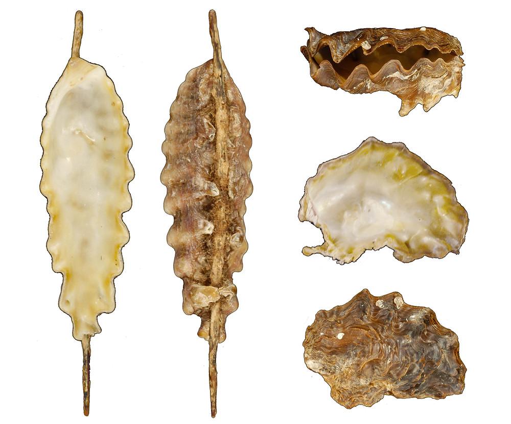 Dendostrea frons