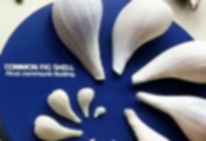 Common Fig Shell exhibit at Bailey-Matthews National Shell Museum on Sanibel Island Florida