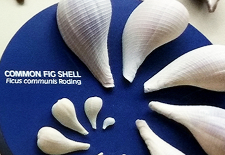 Common Fig Shell exhibit at Bailey-Matthews National Shell Museum on Sanibel Island Florida