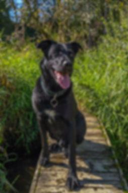 The boat dog, a black labrador, Coffee