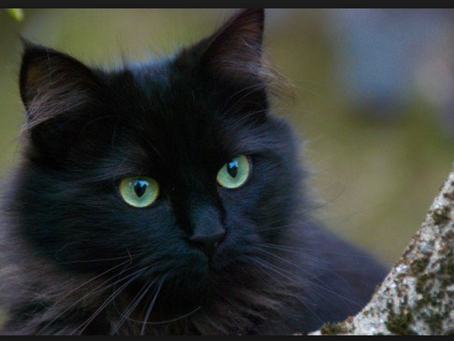 The Lonely Cat - Why to consider adopting a black cat