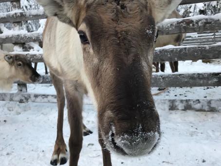 The Palosaaren Reindeer Farm - Ruka-Kuusamo, Finland