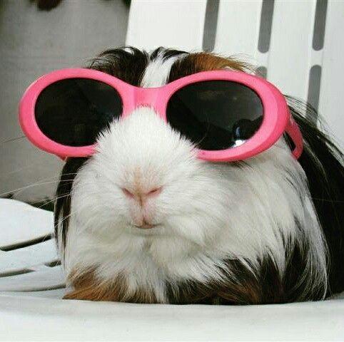 d8561ad5804792b9c46d291ff0e29320--pig-stuff-guinea-pigs