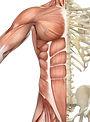 muscular system.jpg