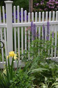 Lupine and Yellow Iris