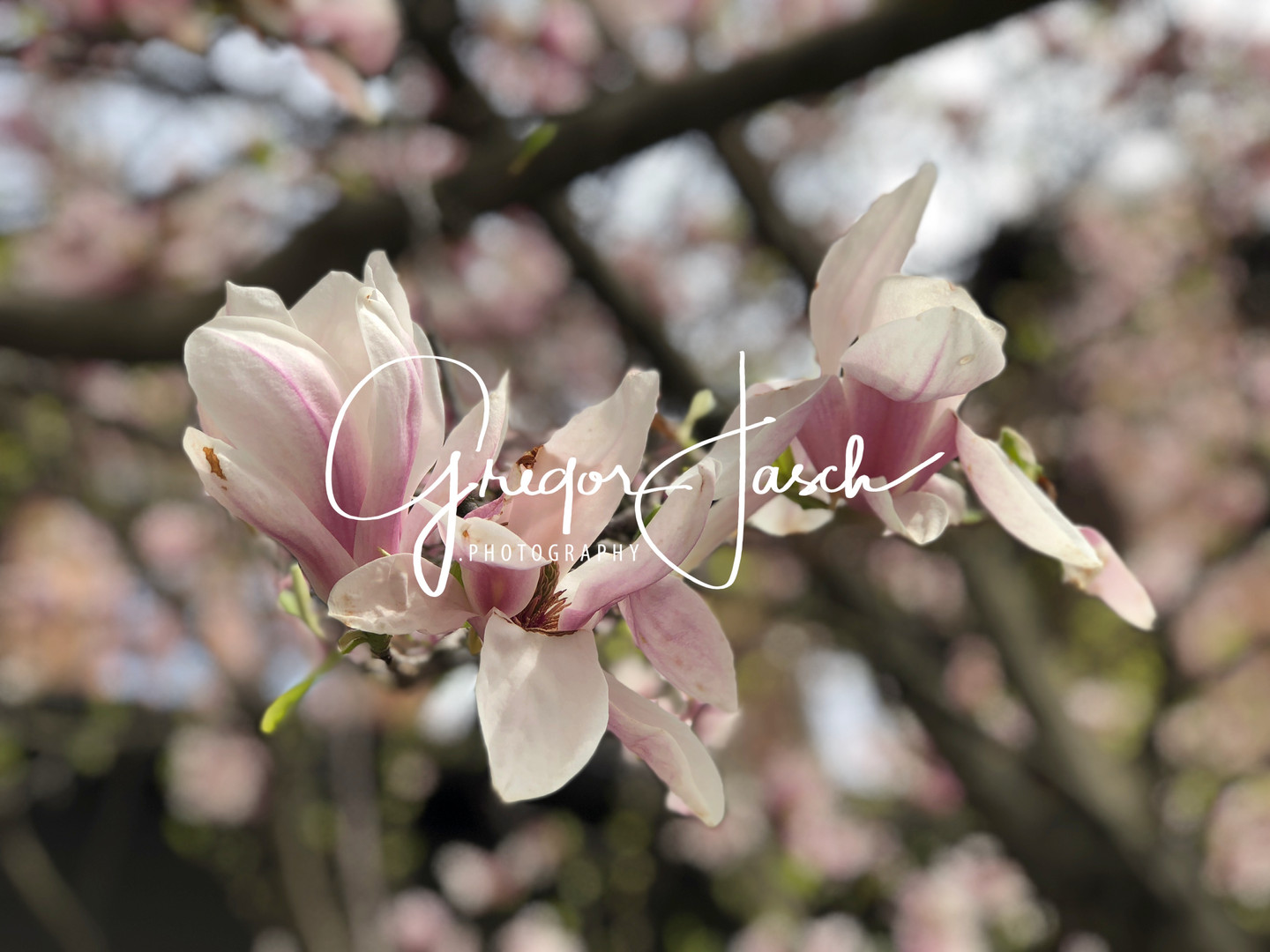 Buy_online_pictures_of_Cherry_Blossom_Flowers_gregorjasch.photography