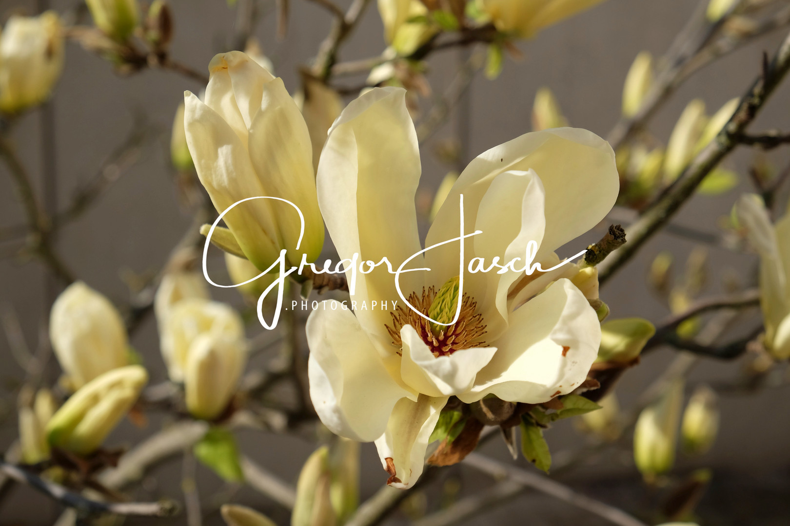 Buy_online_pictures_of_Magnolia_Flowers_gregorjasch.photography