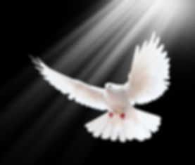 A free flying white dove isolated on a b
