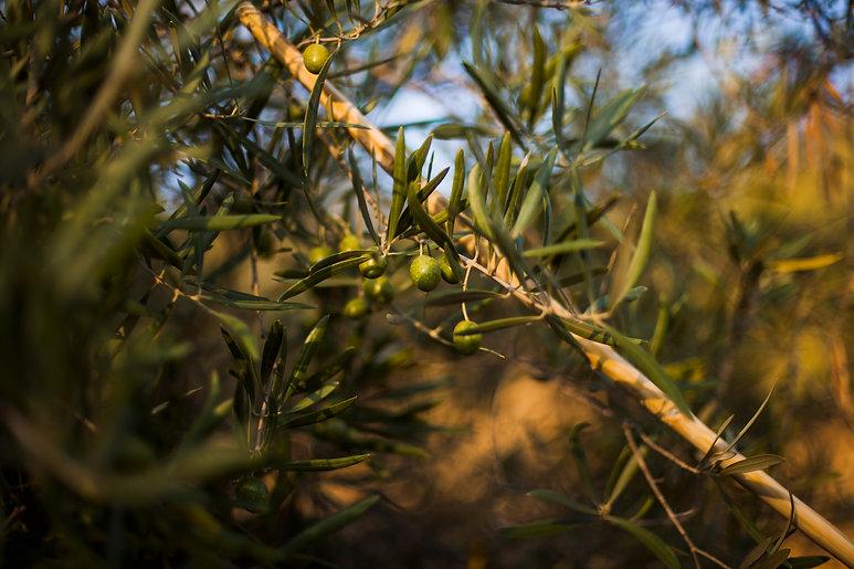 close-up-wooden-stick-olive-tree.jpg