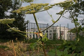 Борщевик Сосновского рядом со школой 2070 в Коммунарке