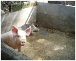 DEWATS – SME Survey at 2 Pig Livestocks in Badung Regency
