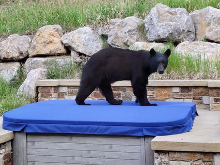 Spa Cover Takes Bear in Stride!