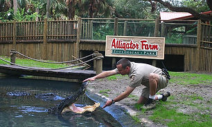 alligator_farm_guy_5x3.jpg