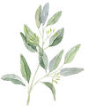 eucalyptus 1 (1).png