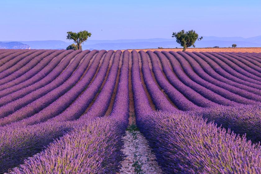 Banner photo 1- Lavender field in the su
