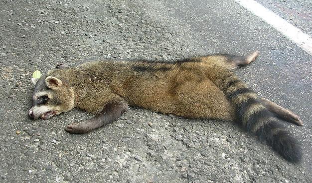 atropelamento de animais silvestres Ubatuba