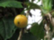 cambucá fruta