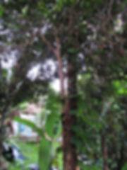cambucá árvore