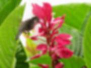 beija-flor na flor vermelha da mata atlântica