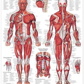 muscular-system .jpg