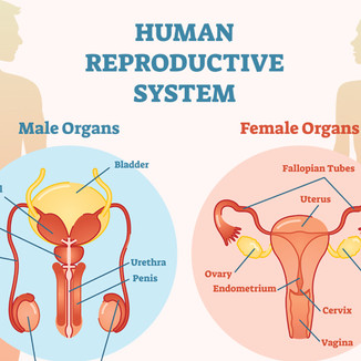 reproductive-system .jpg