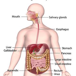digestive-system.jpg
