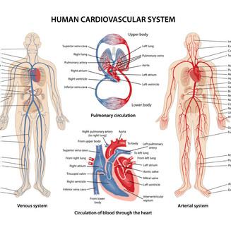 cardio-vascular.jpg