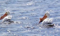 A flock of pelicans