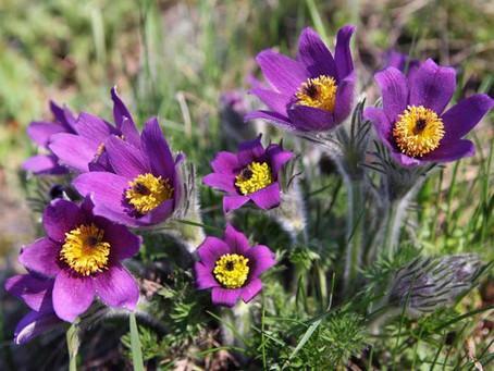 Pasque Flower (Anemone Pulsatilla)