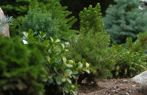 Landscaping with Conifers
