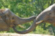 ELEPHANT TRUNKS.jpg