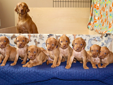 What To Look for When Selecting a Dog Breeder
