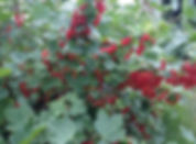 Red currants available for pick yourown at Mathias Farms in Niagara