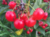 Sour cherries available for pick yourown at Mathias Farms in Niagara