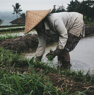 Old woman at a Rice Field