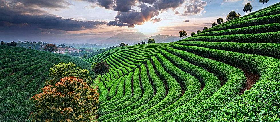 plantations-de-the-dans-le-monde-bandeau