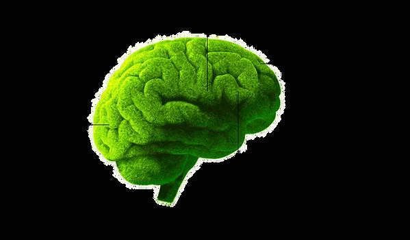 cerveau avec zones .png
