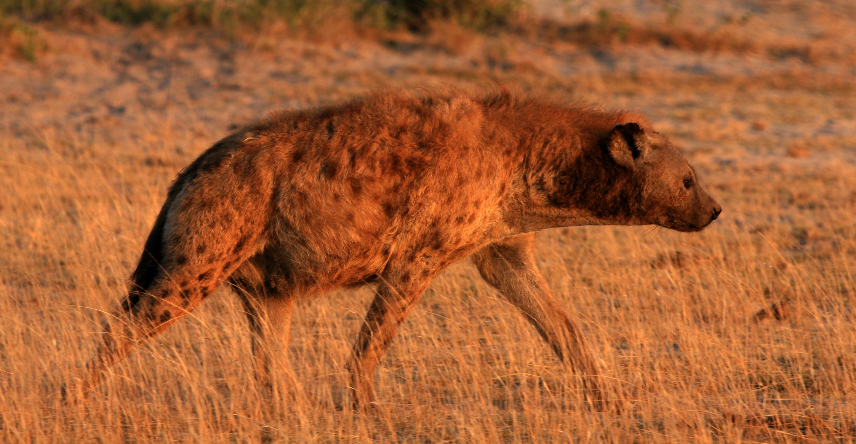 Hienas viaje a pie por Tanzania