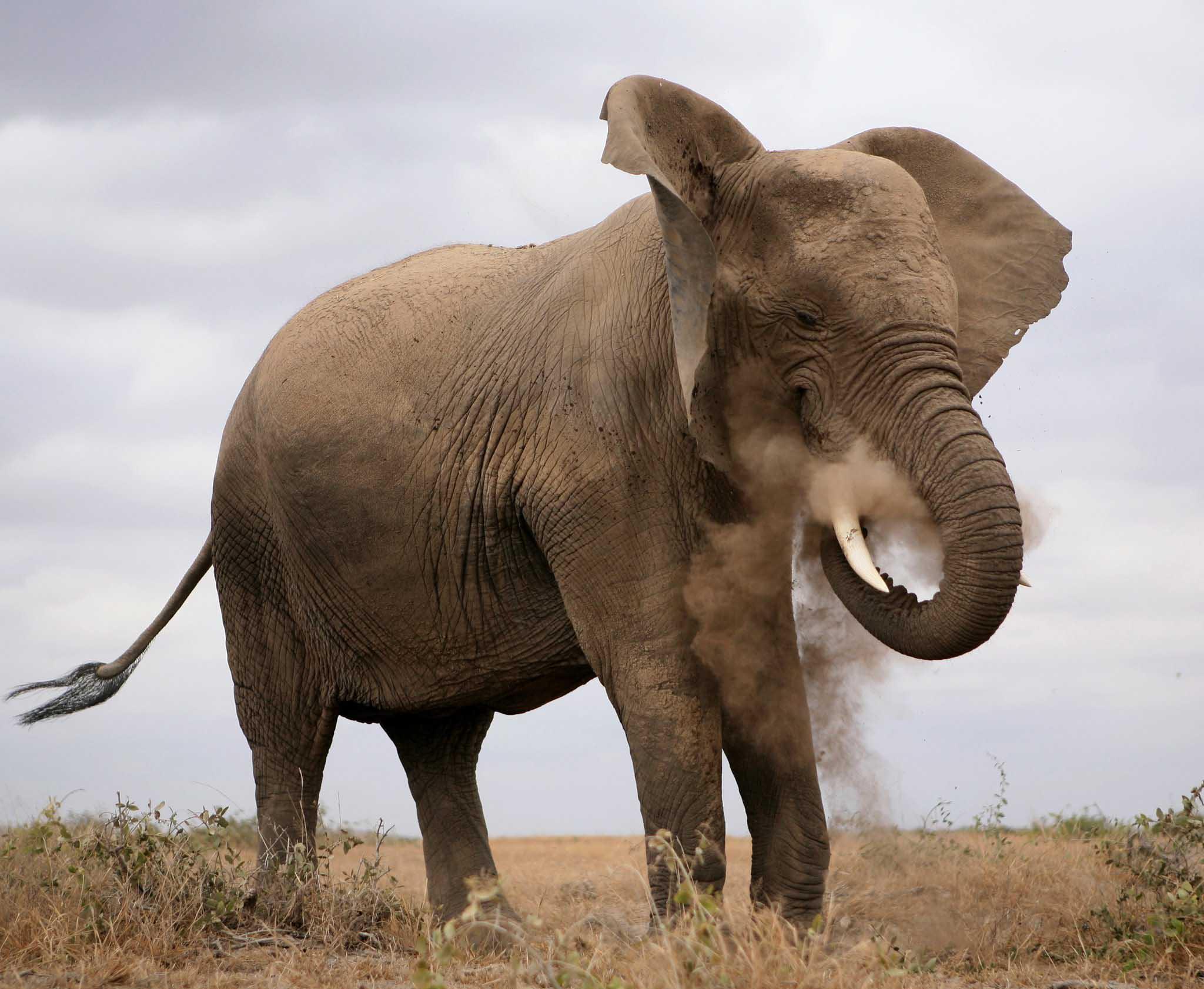 Safari en Ruaha Tanzania. Elefante
