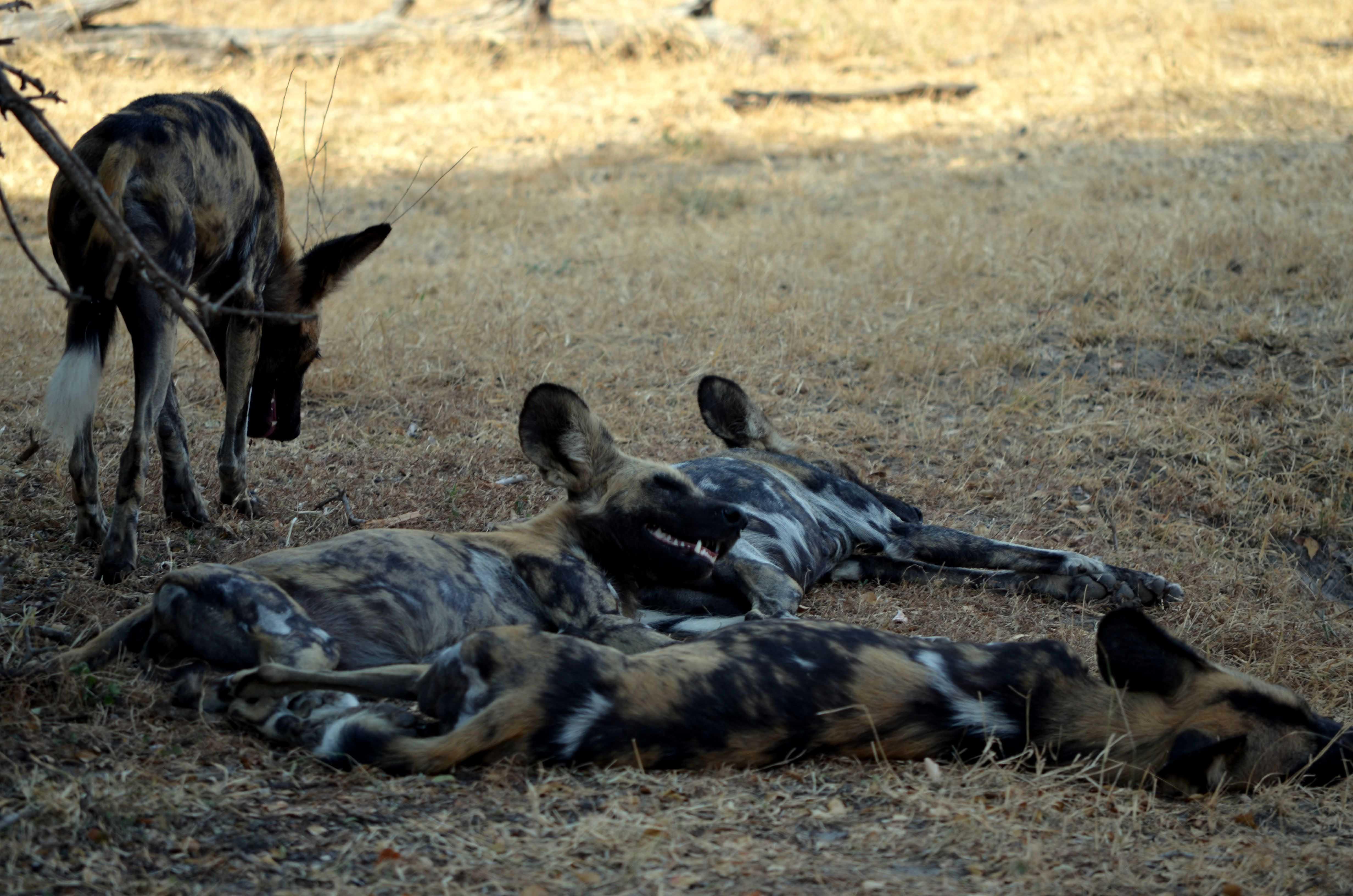 Perros salvajes. Tanzania safari