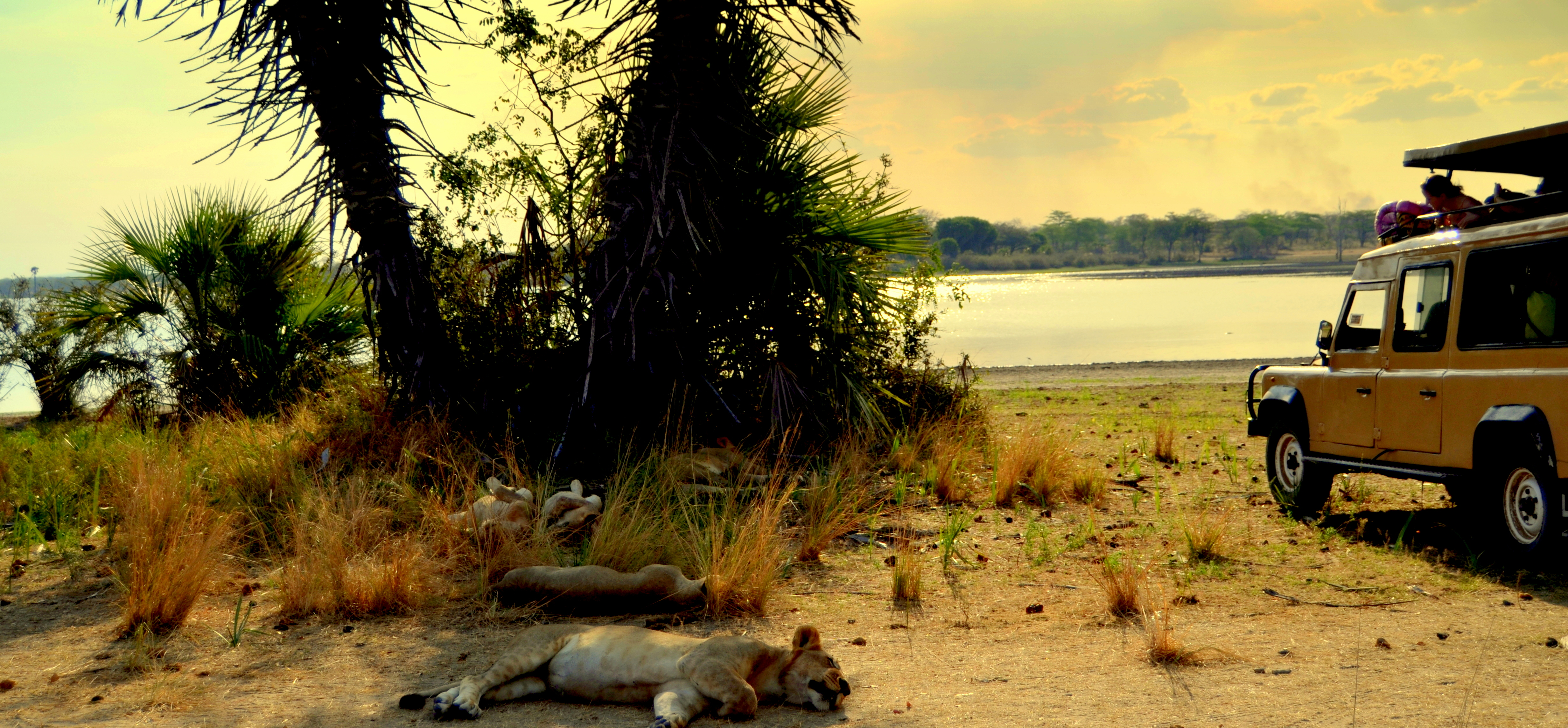 Leones safari sur de Tanzania