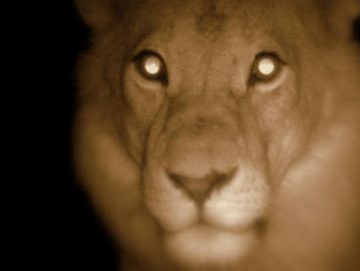 Cae la noche en el Serengeti. Leones en la oscuridad.